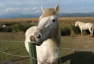White horses, S'Albufera Natural Area - Mallorca, Spain