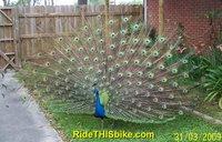 peacock plummage